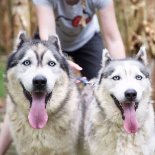 ❤🐾Baby and Johnny🐾❤ ~ bonded pair - Alaskan Malamute x Siberian Husky Dog