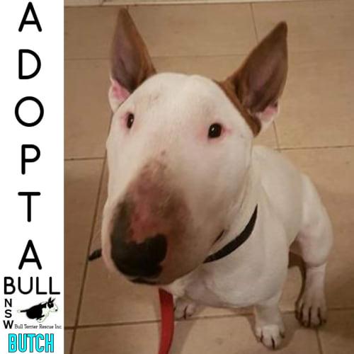 Adoptabull - Butch