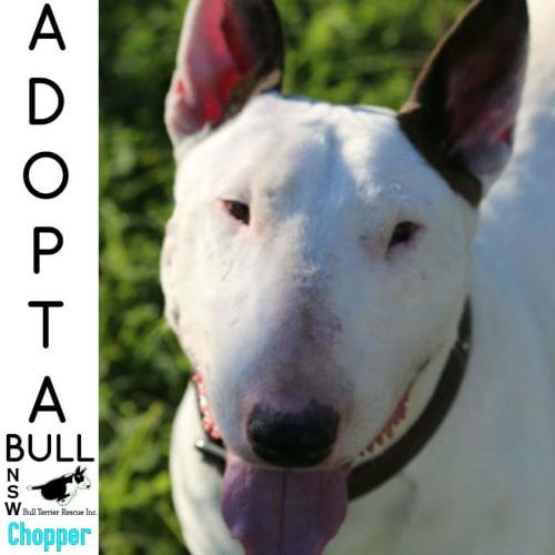 Adoptabull - Chopper - Bull Terrier Dog
