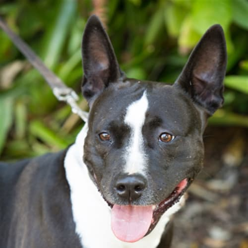 Lexi - American Staffordshire Bull Terrier Dog