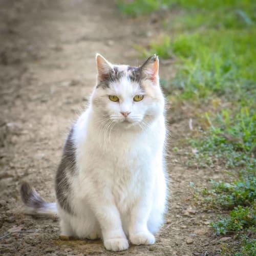 Alina ( Kittmans ) - Domestic Short Hair Cat