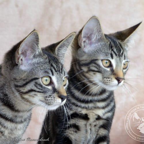 Quigley & Quentessa - Domestic Short Hair Cat