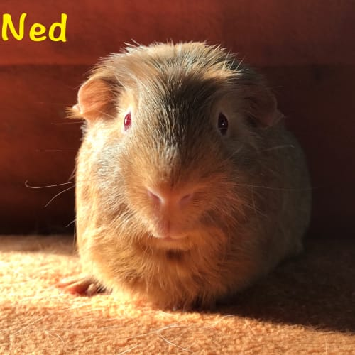 Ned - Crested x Smooth Hair Guinea Pig