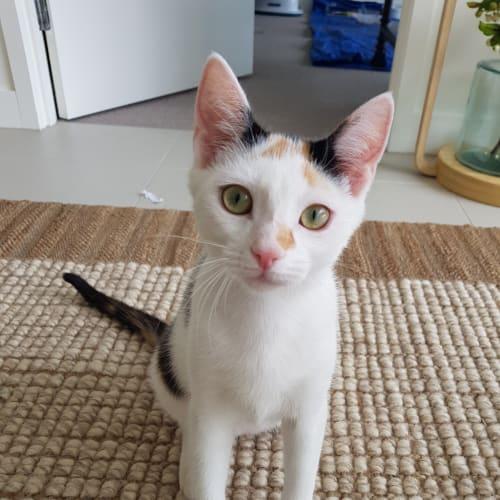 Rani - Domestic Short Hair Cat
