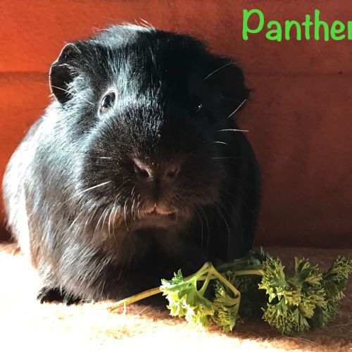 Panther - Smooth Hair Guinea Pig