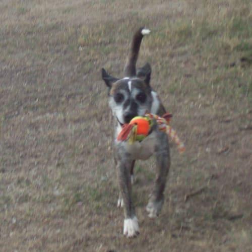 Alex - Australian Cattle Dog x Staffordshire Bull Terrier Dog