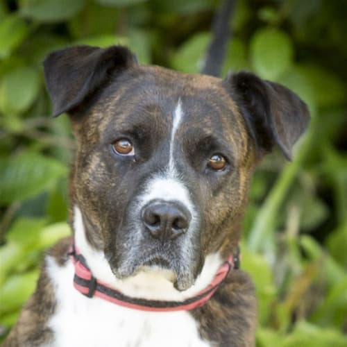 Francis  - Boxer x American Staffordshire Bull Terrier Dog