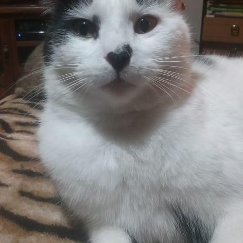 Earl - Domestic Short Hair Cat