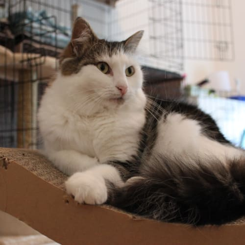 Arya - Domestic Medium Hair Cat