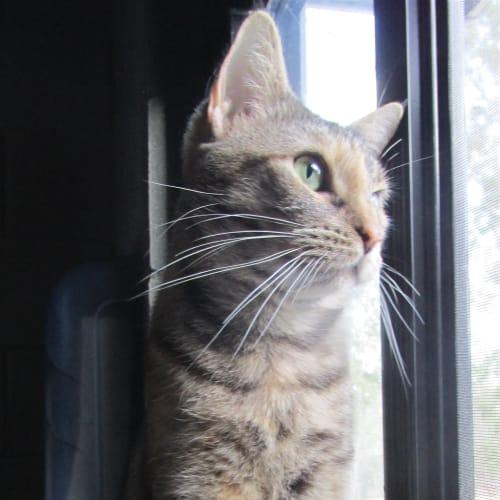 Joan - Domestic Short Hair Cat