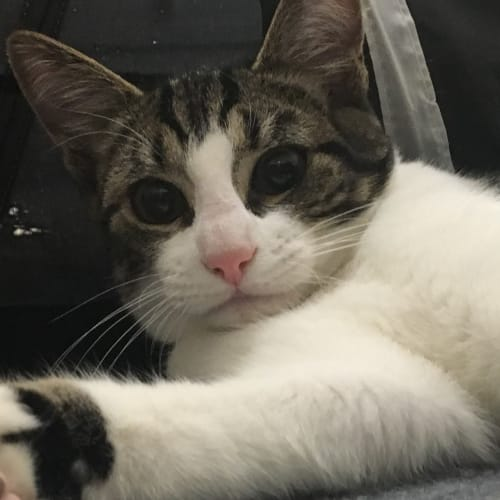 Cookie (Located in Bittern) - Domestic Short Hair Cat