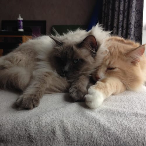 Rocky & Winter - Domestic Medium Hair x Ragdoll Cat
