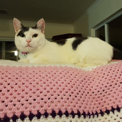 Mozaic - Domestic Short Hair Cat