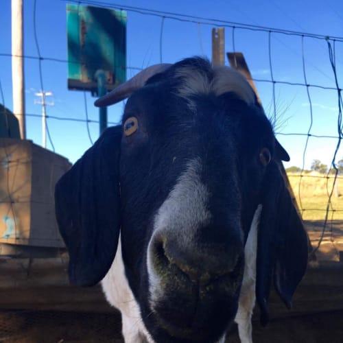 Cakey -  Goat