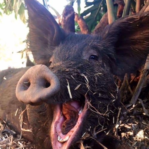Hazel Happydaze -  Pig