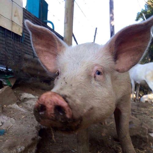 Rosie Thunder  -  Pig