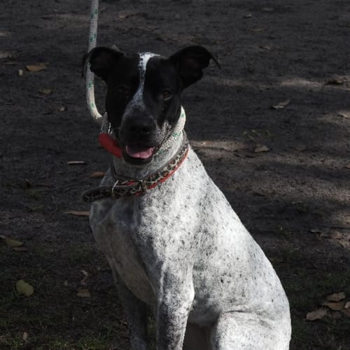 Zoie - Australian Cattle Dog x Bull Terrier Dog
