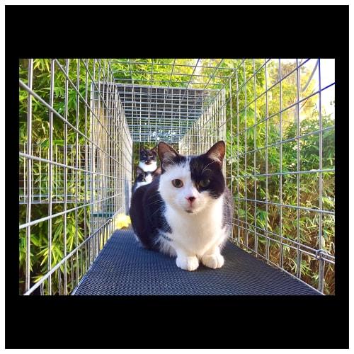 Pye - Domestic Short Hair Cat