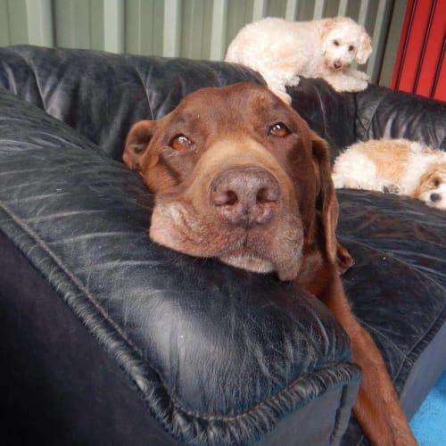 Lucky - Labrador Dog