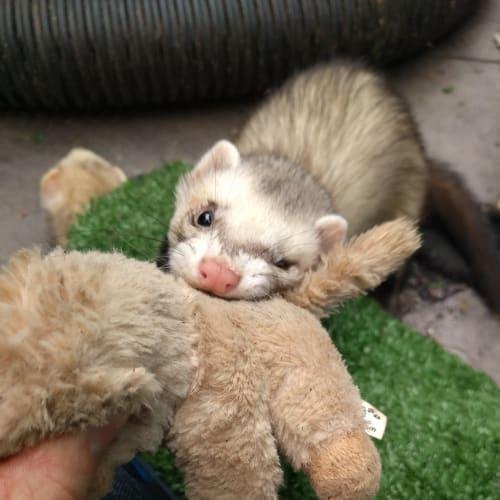 Bella & Mouse -  Ferret