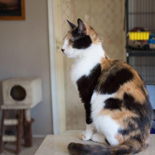Hallie - Domestic Short Hair Cat