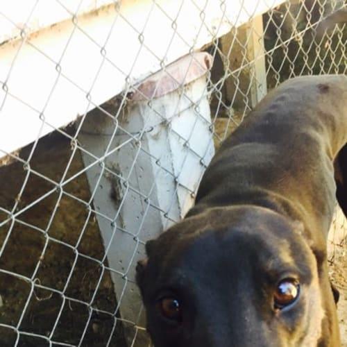 Chad - Greyhound Dog