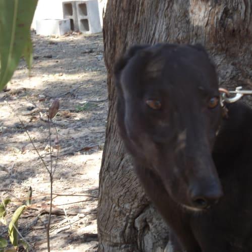 Hansel - Greyhound Dog