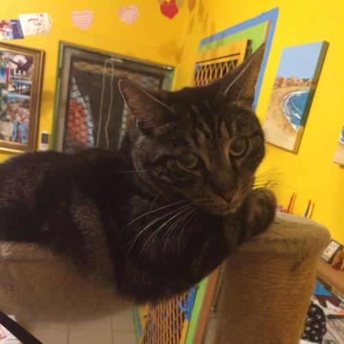 Tabby Boy - Domestic Short Hair Cat