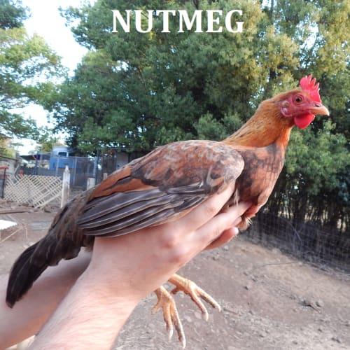 Peach, Nutmeg & Snowflake -  Chicken