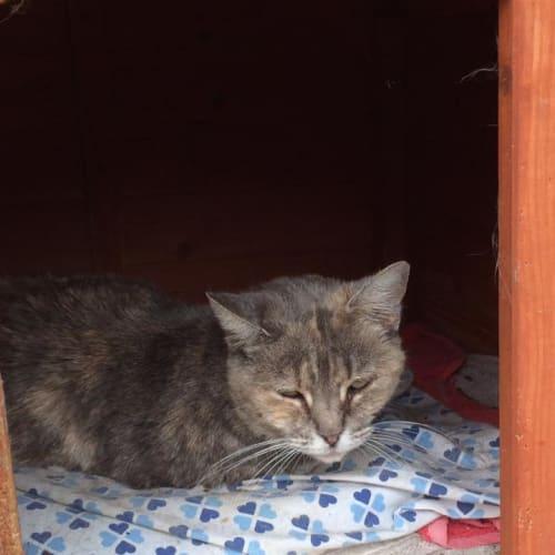 Natasha - Domestic Short Hair Cat
