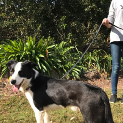 Shep - Border Collie Dog