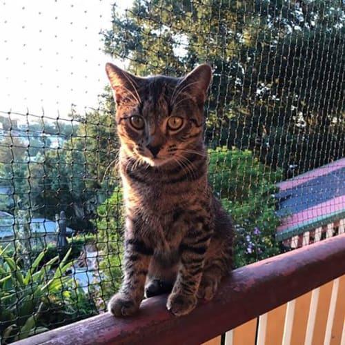 Bunny - Manx Cat