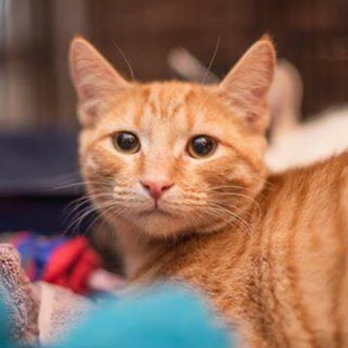 AK1193 - Chuck Norris - Domestic Short Hair Cat
