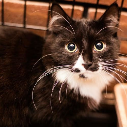 AK1194 - Bertie - Domestic Medium Hair Cat