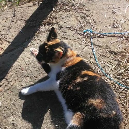 Mix - Domestic Short Hair Cat