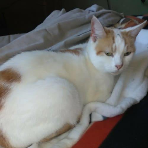 Mumma Kat - Domestic Short Hair Cat