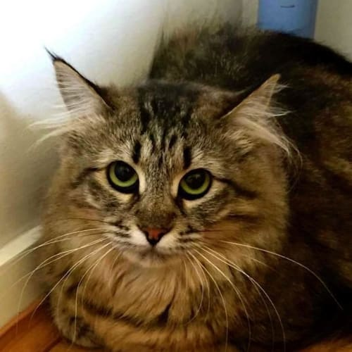 AC0327 - Clarabelle - Domestic Medium Hair Cat