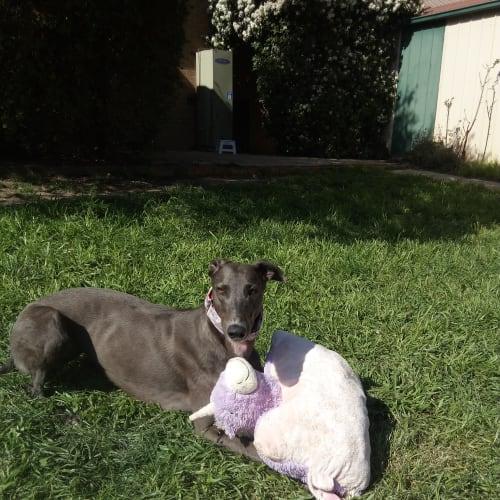 Penny - Greyhound Dog