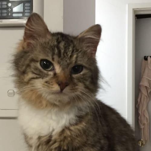 Kit kit - Domestic Medium Hair Cat