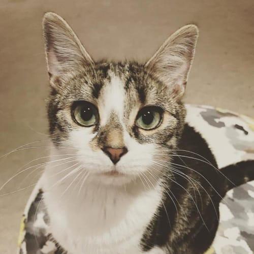 Darwin - Domestic Short Hair Cat