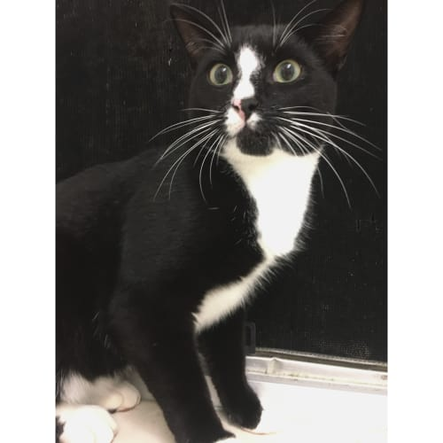Cayden - Domestic Short Hair Cat