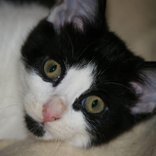 Jinda~Snuggler - Domestic Short Hair Cat