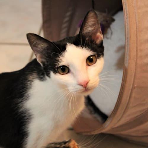 Lagertha - Domestic Short Hair Cat