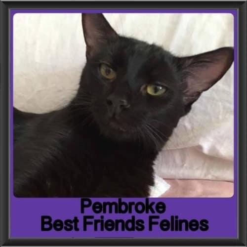 Pembroke - Domestic Short Hair Cat