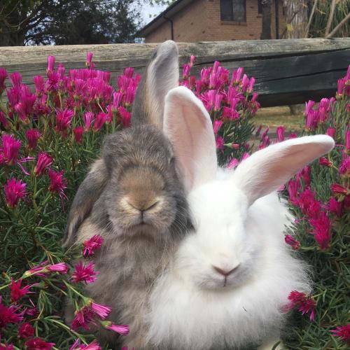 Debbie & Stevie  - French Angora Rabbit