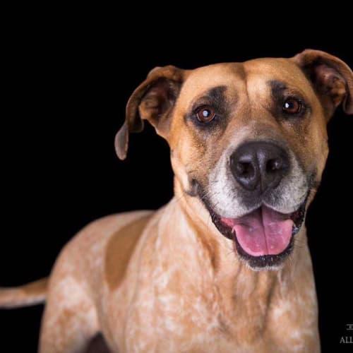 Calli - Great Dane Dog