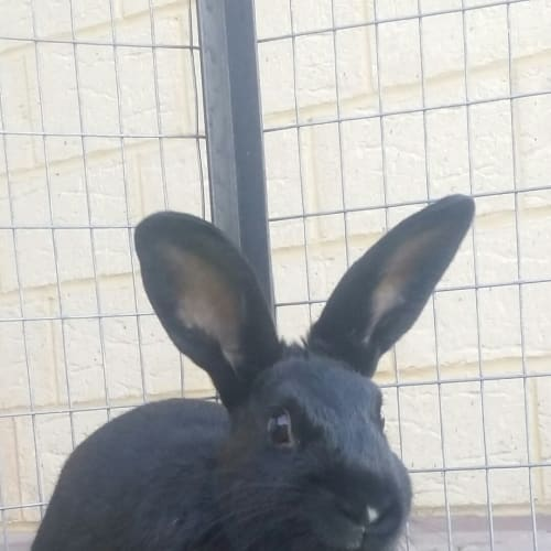 Duckie - Domestic Rabbit