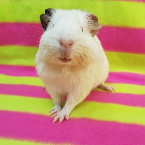 Lady Pinkbottom - Himalayan Guinea Pig