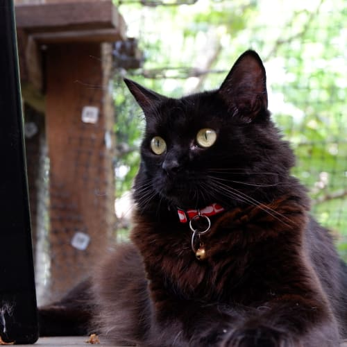 Billy Black - Domestic Medium Hair Cat