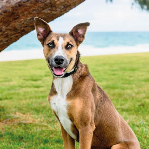 Marshall - Kelpie Dog